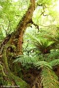 Myrtle Beech, Tarra Bulga National Park, Victoria, Australia