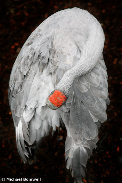 Brolga (Type Of Crane)