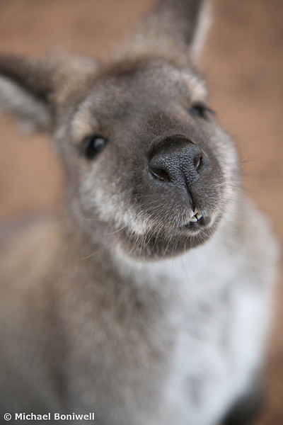 Young Australian Wallabie
