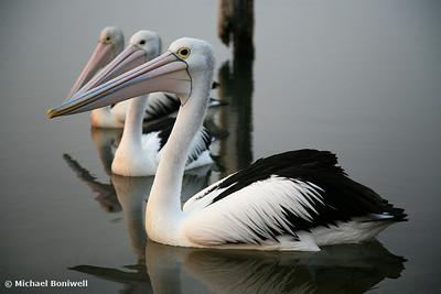 Pelicans, Mallacoota, Victoria, Australia