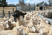 Sheep Dog working the Flock, Logan, Victoria, Australia