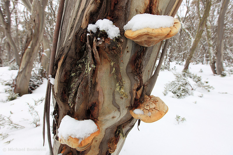 Winter Fungi, Mt Stirling, Victoria, Australia