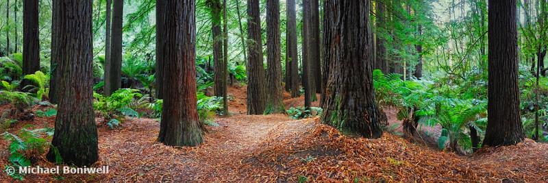 Redwood Forest, Otways, Great Ocean Road, Victoria, Australia