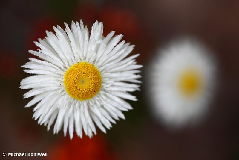 Wildflower, Grampains, Victoria, Australia