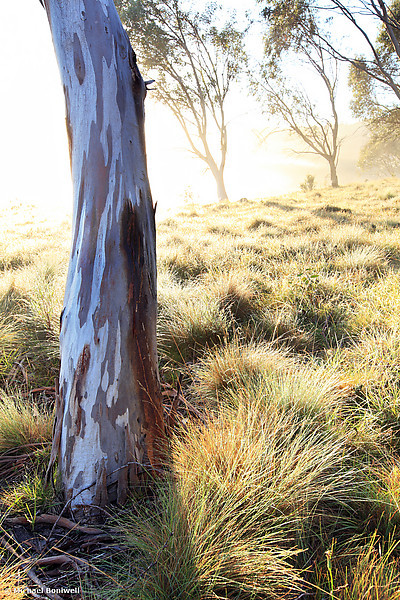 Misty Gumtree, Kosciuszko National Park, New South Wales, Australia