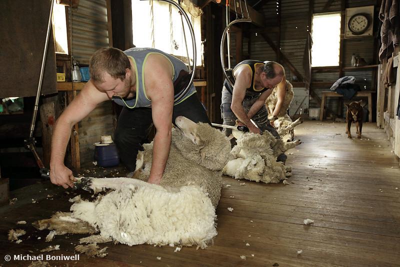 Tim Holmes, Shearer, Tooborac, Victoria, Australia