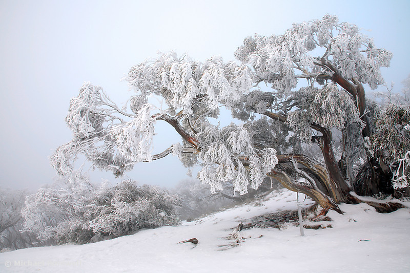 Snowbound Snowgum, Mt Feathertop, Victoria, Australia