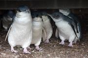 Australian Baby Penguins, Phillip Island