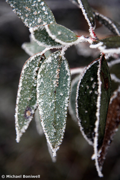 Frosted Gum Leaves, Victorian High-country, Australia