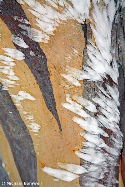 Ice on Snowgum, Mt Feathertop, Victoria, Australia