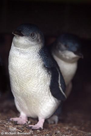 Australian Baby Penguin, Phillip Island