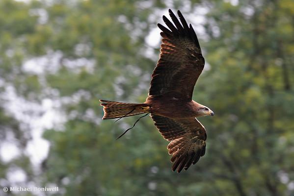 Bird Of Prey, Australia