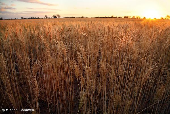 Golden Flakes of Wheat, Victoria, Australia