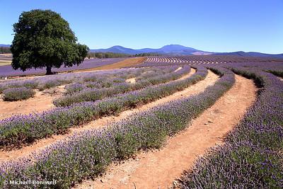 The Lavendar Farm, Tasmania, Australia