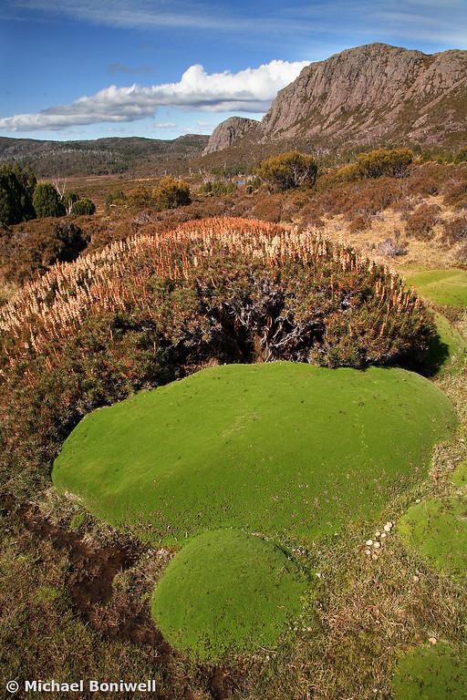 Cushion Plants, Mt Jerusalem, Walls Of Jerusalem Nat. Park, Tasmania, Australia