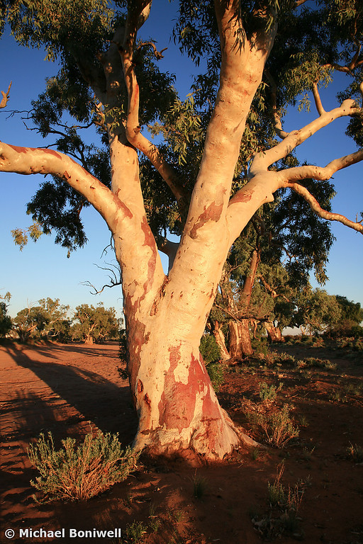 River-gum, Outback New South Wales, Australia
