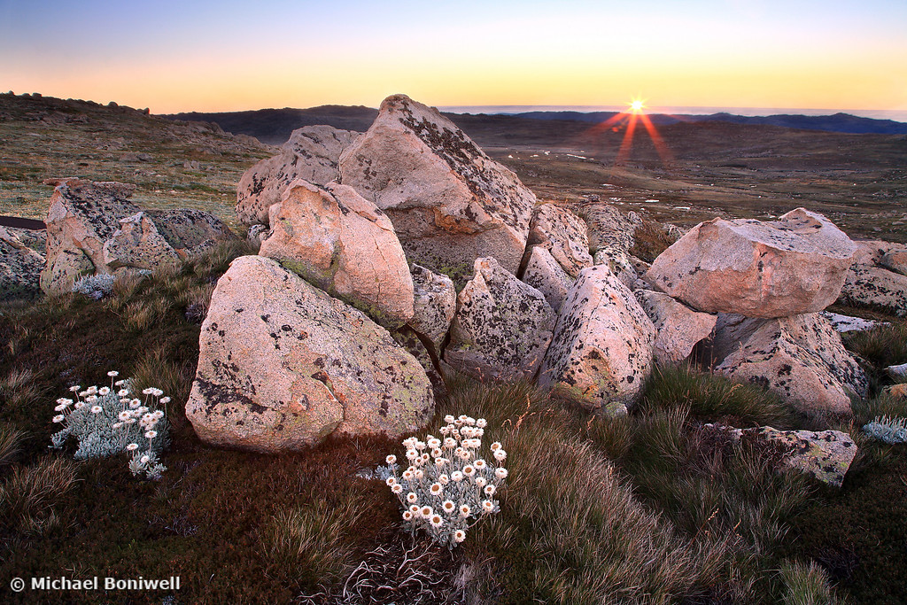 Silver Snow Daises, Mt Kosciuszko, New South Wales, Australia