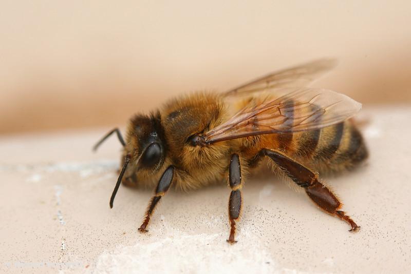 Wild Bee, Victoria, Australia