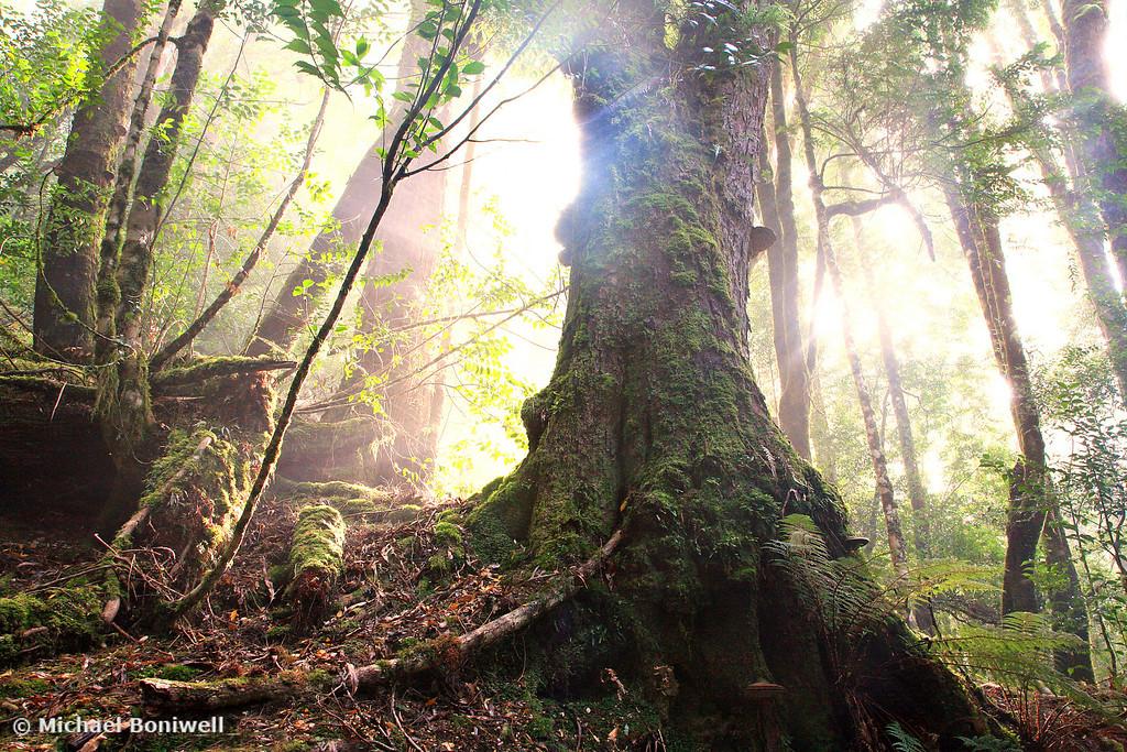 Enchanted Forest, Frenchmans Cap, Franklin-Gordon Wild Rivers National Park, Tasmania, Australia