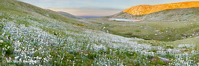 Wildflowers, Lake Cootapatamba, Kosciuszko, New South Wales, Australia