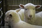 Lambs ready for shearing