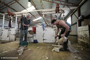 Noel Mc Naulty & Richard Stephenson, Shearers, Logan, Victoria, Australia