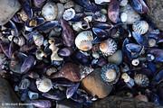 Beach Shells, Tasman Peninsula, Tasmania, Australia
