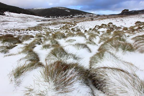 Grass Tussocks, Cradle Mountain National Park, Tasmania, Australia