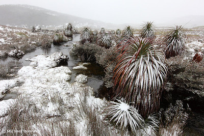 Pandini, Cradle Mountain National Park, Tasmania, Australia