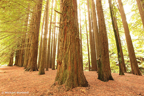 Californian Redwoods, Otways, Great Ocean Road, Victoria, Australia