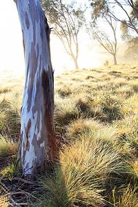 Misty Gumtree, Kosciuszko National Park, New South Wales, Australia