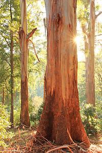 Dawn Gums, Dandenongs, Victoria, Australia