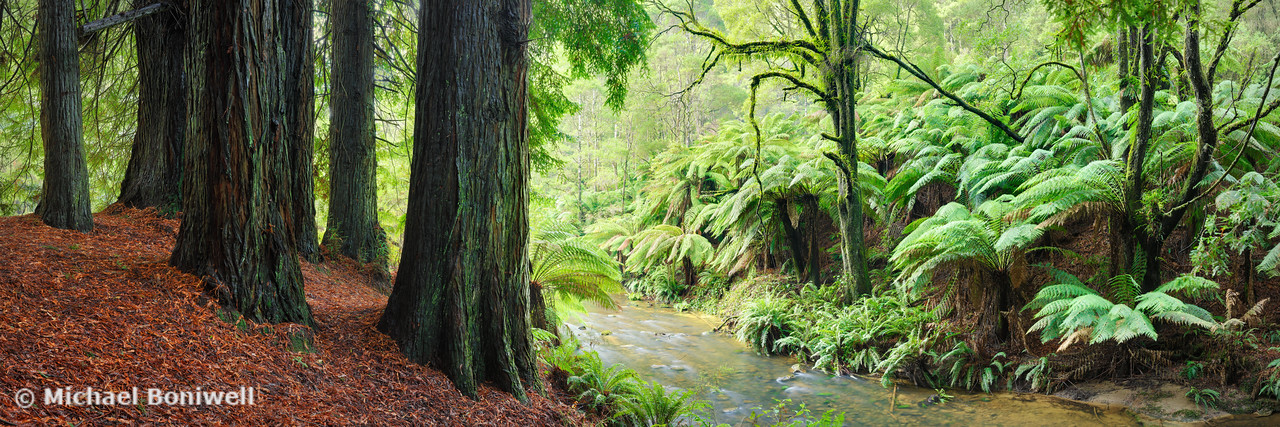 Redwoods by the Aire River, Otways, Great Ocean Road, Victoria, Australia