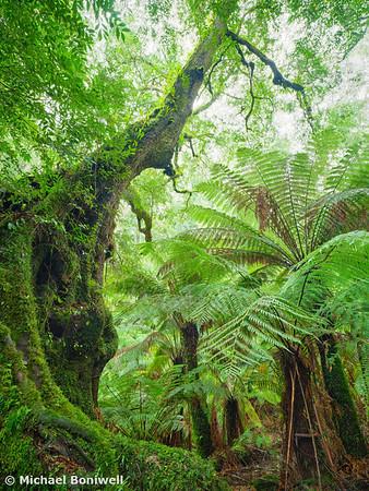 Myrtle Beech Tree, Tarra Bulga National Park, Victoria, Australia