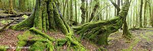 Mossy Myrtle Forest, Cradle Mountain, Tasmania, Australia