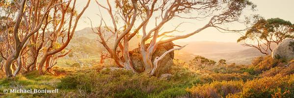 Charlotte Pass Trees, Kosciuszko, New South Wales, Australia